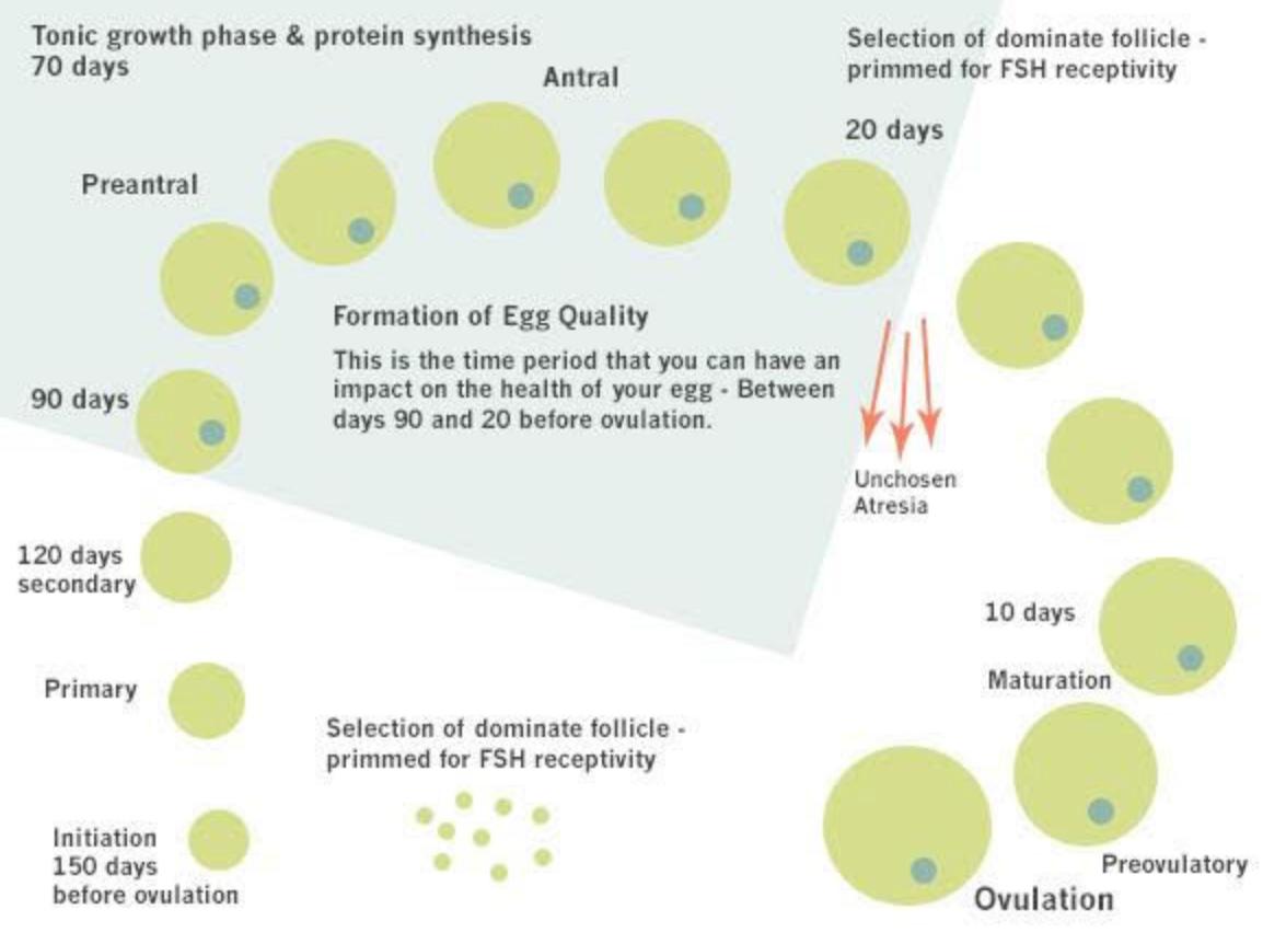 ciclo vital de un ovulo